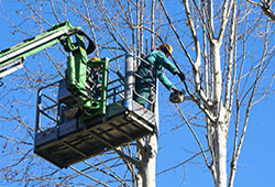 Tree Trimmimg Services in westcovina